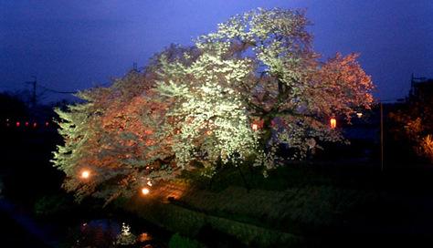 樹齢150年の「川路桜」で