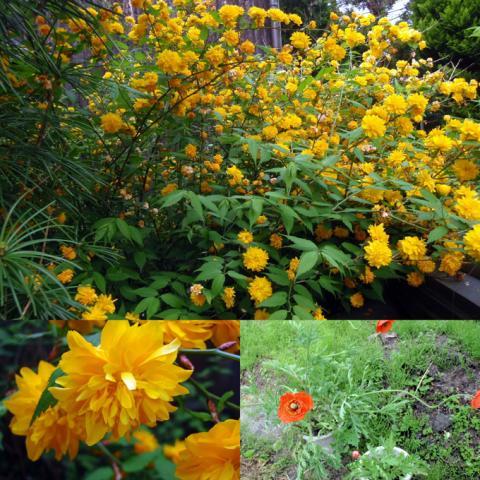 裏庭のヤマブキと謎の花(笑