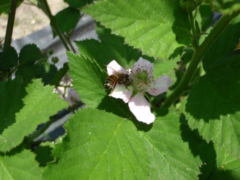 ミツバチだ!