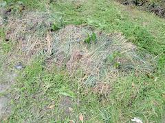 刈り草をかぶせられたオクラ