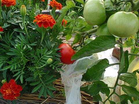 マリーゴールドとトマト