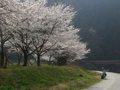 9:15桜
