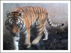 a_tiger.jpg