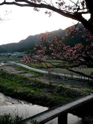 ohara-sakura.jpg