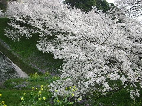 千鳥が淵の桜満開*