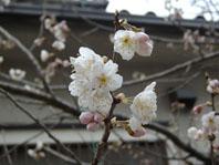 2009桜開花1