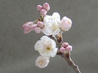 2009桜開花2