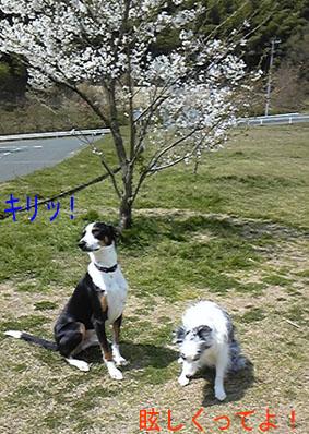 2009.4 原っぱの桜1