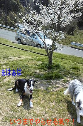 2009.4 原っぱの桜2