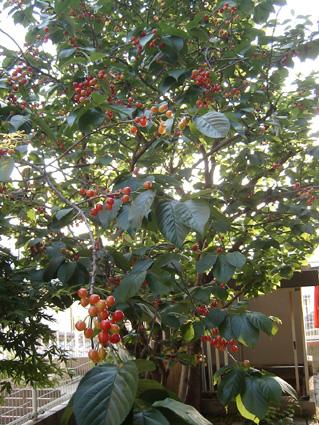 桜の木(東の庭側)サクランボ一杯♪