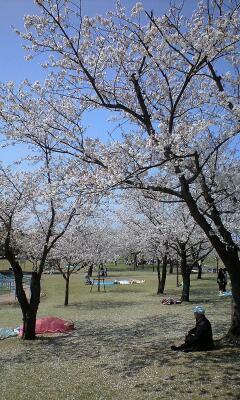 吉野公園の桜3
