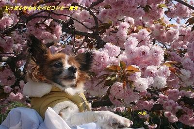 八重桜とベル