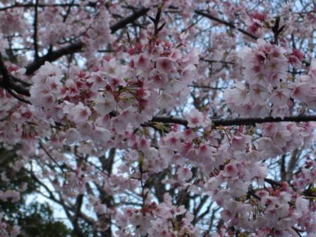 桜。。。綺麗ですね♪