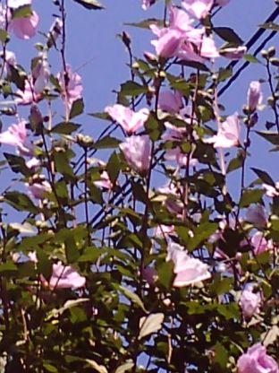 家の前のノッポなお花