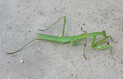 カマキリの幼虫