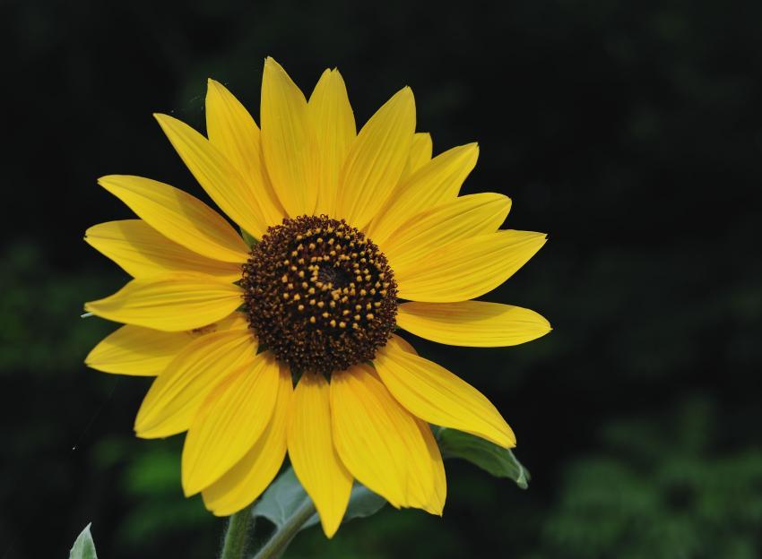浮かぶ向日葵