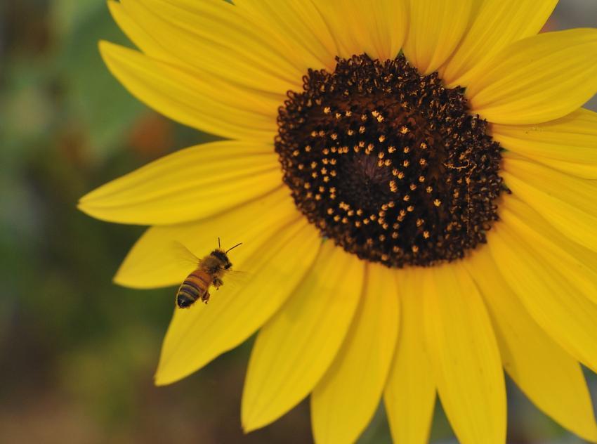 向日葵とミツバチ