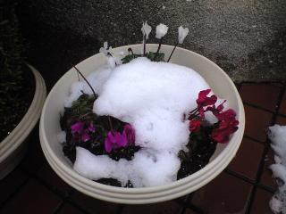 実家のガーデニングに積もる雪