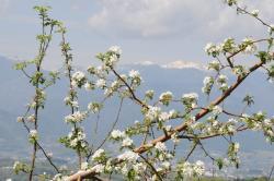 たつみ農園のりんごの花から中央アルプスを望む