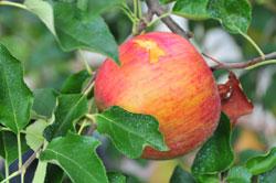 食べられたりんご08_0829