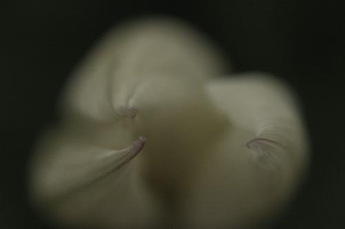 tulip*tulip
