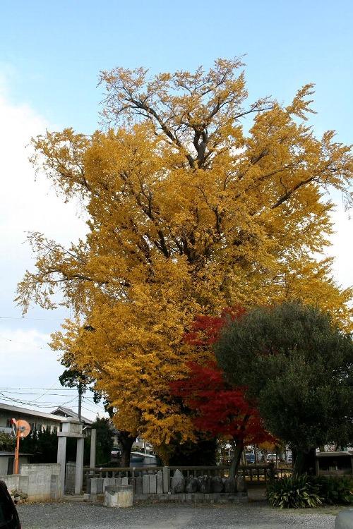 亀山 「宗英寺」の大銀杏