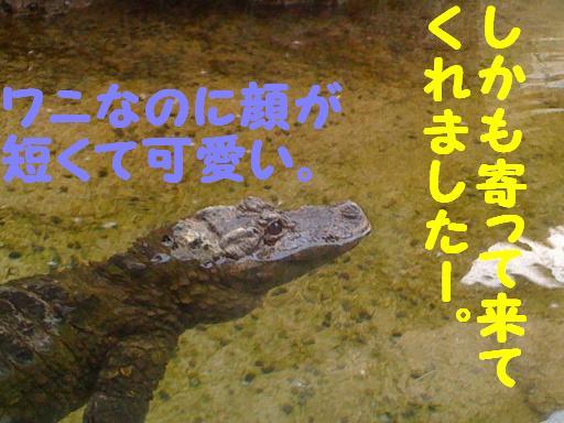 ヨウスコウワニ 01