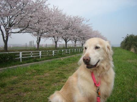 090408桜