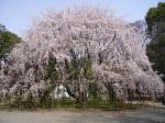 2006年六義園枝垂桜