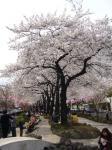 2006年播磨坂桜