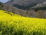 マザー牧場桜と菜の花