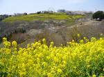 マザー牧場桜と菜の花1
