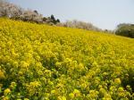 マザー牧場桜と菜の花2