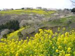 マザー牧場桜と菜の花4
