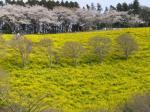 マザー牧場桜と菜の花5