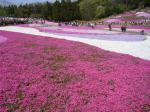羊山公園芝桜2