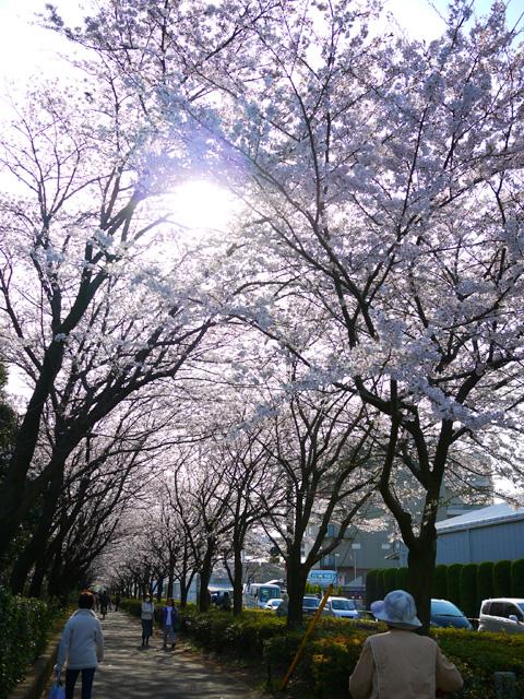 chuuousakura.jpg