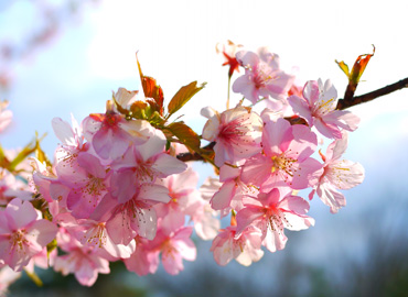sakura2_20100304115813.jpg