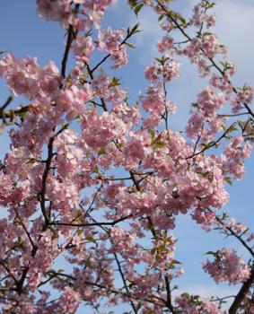 sakura_20100304115808.jpg