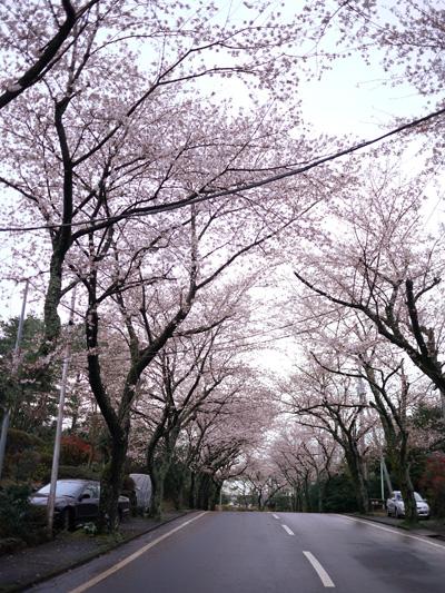 sakura_20100410041138.jpg