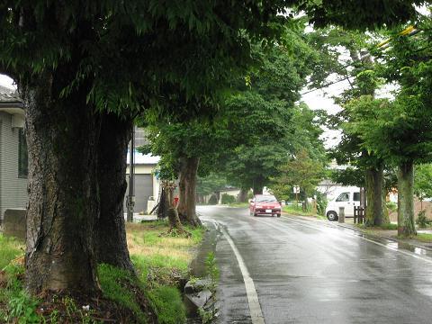 出町・尼子町の欅並木