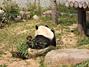 王子動物園パンダ後ろ姿