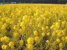 たつの市御津町菜の花