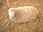 ふれあい牧場の羊