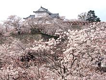 鶴山公園の桜(津山市)