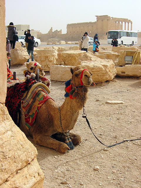 palmyra-camel2