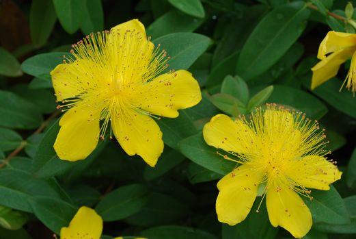 黄色いハナ