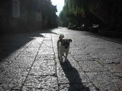 麗江古城犬