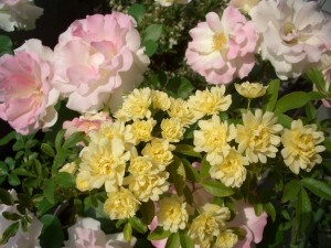 2010.5月のバラ