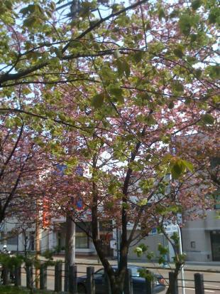 gyoikouzakura_convert_20090502022109.jpg